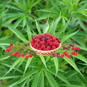 Herbata konopna z owocami, wzbogacona malinami, porzeczkami i aronią z dodatkiem jagody goji; ekologiczna herbata z polskich konopi Cannabis sativa l.